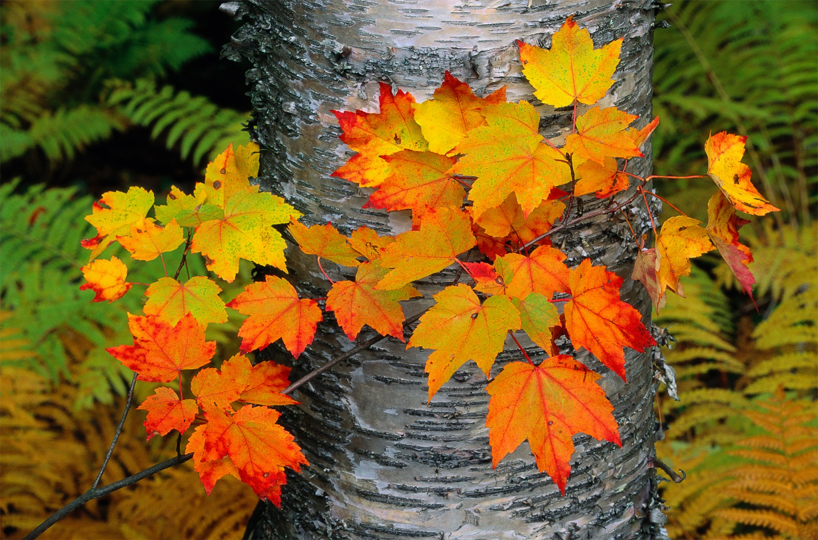 Sugar maple leaves set against the trunk of a yellow birch tree.